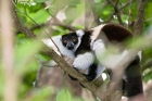 Click to see details of Black and white ruffed lemur (Varecia variegata)
