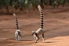 Click to see details of Ring-tailed lemurs (Lemur catta)