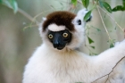 Click to see details of Verreaux's sifaka (Propithecus verreauxi)