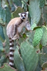 Click to see details of Ring-tailed lemur (Lemur catta)