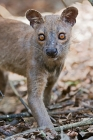 Click to see details of Fosa or fossa (Cryptoprocta ferox)