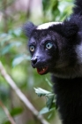 Click to see details of Indri (Indri indri)