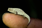 Click to see details of Pygmy stump-tailed or leaf chameleon (Brookesia peyrierasi)