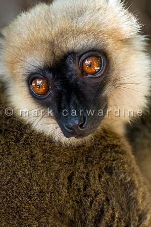 White-fronted brown lemur (Eulemur albifrons) - male