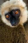 Click to see details of White-fronted brown lemur (Eulemur albifrons) - male