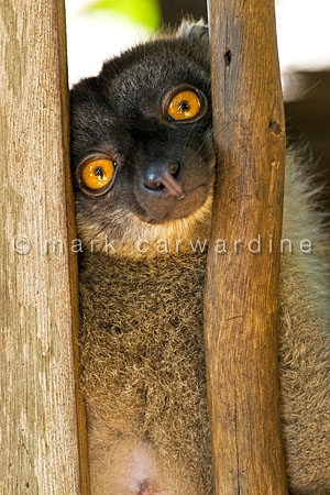 White-fronted brown lemur (Eulemur albifrons)