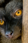 Click to see details of White-fronted brown lemur (Eulemur albifrons) - female