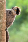 Click to see details of Red-fronted brown lemur (Eulemur rufus)