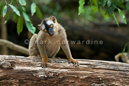 Red-fronted brown lemur (Eulemur rufus)