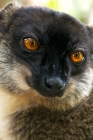 Click to see details of Common brown lemur (Eulemur fulvus)