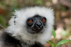 Click to see details of Diademed sifaka (Propithecus diadema)