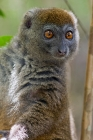 Click to see details of Eastern grey bamboo lemur (Hapalemur griseus)