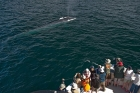 Click to see details of Blue whale (Balaenoptera musculus) with whale watchers