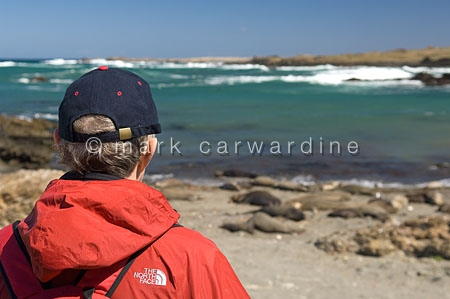 Tourist watching northern elephant seal (Mirounga angustirostris