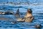 Click to see details of California sea lion or sealion (Zalophus californianus)