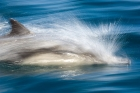 Click to see details of Long-beaked common dolphin (Delphinus capensis)