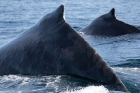 Click to see details of Humpback whale (Megaptera novaeangliae)