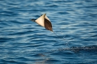 Click to see details of Smoothtail or smooth-tail mobula (Mobula thurstoni)