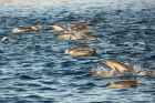 Click to see details of Common dolphin (Delphinus sp)