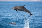 Click to see details of Common bottlenose dolphin (Tursiops truncatus)
