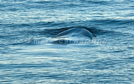 Fin whale or finback (Balaenoptera physalus)