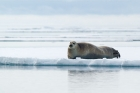 Click to see details of Bearded seal (Erignathus barbatus)