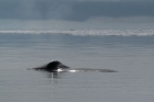 Click to see details of Bowhead whale (Balaena mysticetus)