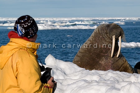 Wildlife viewing - walrus (Odobenus rosmarus)