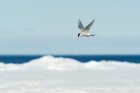Click to see details of Arctic tern (Sterna paradisaea)