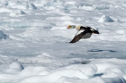 Click to see details of King eider (Somateria spectabilis)