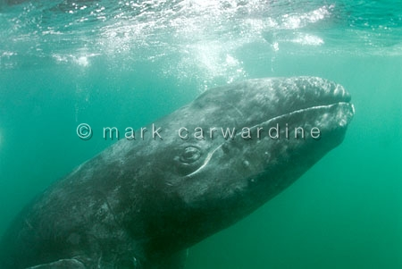 Grey whale or gray whale (Eschrichtius robustus)