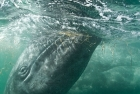 Click to see details of Grey whale or gray whale (Eschrichtius robustus)