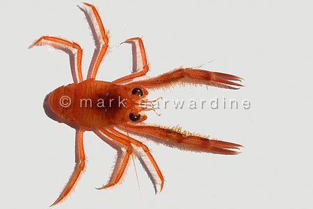 Pelagic red crab (Pleuroncodes planipes)