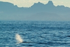 Click to see details of Sperm whale (Physeter macrocephalus)