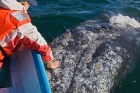 Click to see details of Grey whale (Eschrichtius robustus)