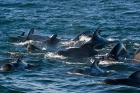 Click to see details of Short-finned pilot whale (Globicephala macrorhynchus) pod
