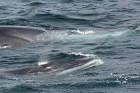 Click to see details of Fin whales (Balaenoptera physalus)