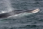 Click to see details of Fin whale (Balaenoptera physalus)