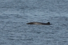 Click to see details of Pygmy beaked whale (Mesoplodon peruvianus)