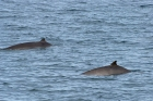 Click to see details of Pygmy beaked whales (Mesoplodon peruvianus)
