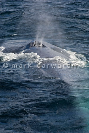 Blue whale (Balaenoptera musculus) - surfacing