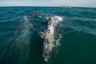 Click to see details of Grey whales (Eschrichtius robustus)