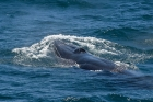 Click to see details of Bryde's whale (Balaenoptera edeni)