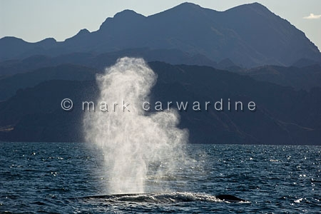 Blue whale (Balaenoptera musculus) - blowing (spouting)