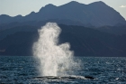 Click to see details of Blue whale (Balaenoptera musculus) - blowing (spouting)