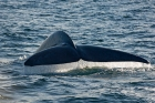 Click to see details of Blue whale (Balaenoptera musculus) - fluking (diving)