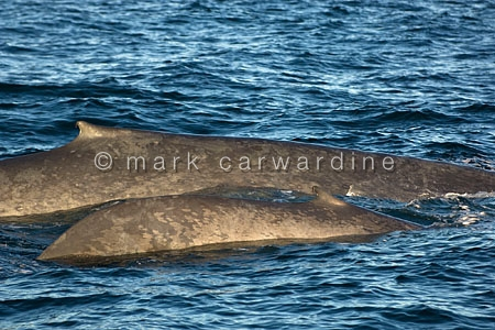 Blue whale (Balaenoptera musculus) - mother and calf
