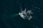 Click to see details of Blue whale (Balaenoptera musculus) - aerial (fluking)