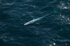 Click to see details of Blue whale (Balaenoptera musculus) - aerial (surfacing)