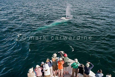 Blue whale (Balaenoptera musculus) with whale watchers